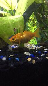 Gold Fish FREE