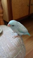 Hand Raised Tame Baby Parrotlets
