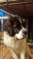 3 year old Female Saint Bernard