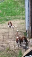 Two female basset hounds one male basset hound.