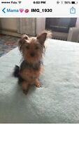 TOY YORKIE FEMALE 1 YEAR OLD