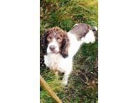 Springer Spaniel Dog