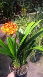 Clivia Lily 20cm awesome shade or indoor plant Greenvale Hume Area Preview