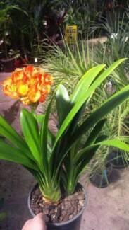 Clivia Lily 20cm awesome shade or indoor plant
