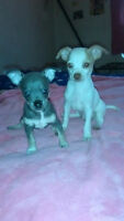 a vendre  chiots 8 semaines chihuahua pure 4males $400.00 chaque