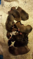 Pure Bred Boxer Puppies for Sale $600