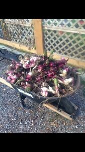 ONLY$90! Full wheel barrel of Canna Lilly Bulbs!