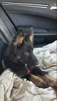 Beautiful Black Shepard Puppy