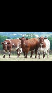 Bred cows