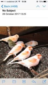 Red dimorphic canaries and greenfinch