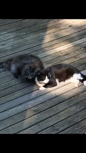 LOST BLACK AND WHITE CAT ARMY CAMP RD