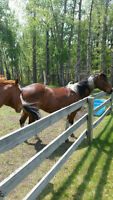 2 horses, trailer, saddle and more