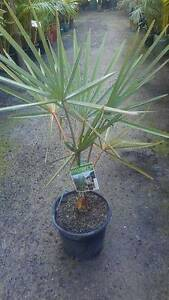 BISMARK PALM ~Fan palms~ THRINAX PALM Beechboro Swan Area Preview