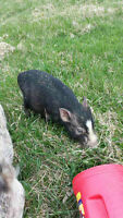 Male Mini Piglet For Sale