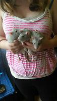 3 rats bleu et leur cage