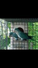 Breeding Pair of Blue Quakers! Monbulk Yarra Ranges Preview