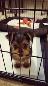 Pure male yorkie puppy
