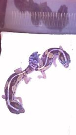Male hatchling African fat tail geckos