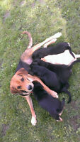 Happy loving Lab/Redbone Coonhound pups ready for good homes!!