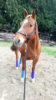 Coming 6 year old QH mare