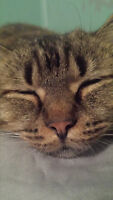 Female Tabby Looking for a Forever Home