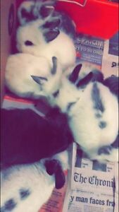 Baby dwarf bunnies ready to go to safe homes!