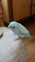 Beautiful Hand Raised Baby Parrotlets