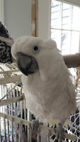Umbrella Cockatoo - male