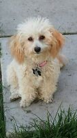 Intact female Toy Poodle *Home Pending*