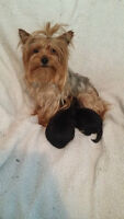 2 males Morkie puppies for sale (Yorkie mix Maltese) ALL SOLD