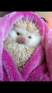 Year old, Male Hedgehog for sale to a good, loving home!! 300$