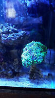 Coral Frags for Salt Water Aquarium (Mutant Hammer Coral)