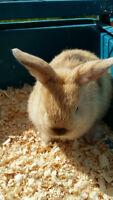 Mini Lop Bunny Rabbits