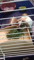Holland Lop Bunny with cage SOLD