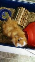 2 guinea pigs ( fluffy and oreo)