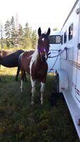 HORSE BOARD - Looking
