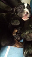 Border Collie/ Rottweiller Puppies