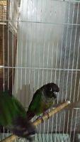 Proven pairs of GREEN CHEEK CONURES (NOT TAME)