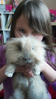 Two male Dwaft Lionhead bunnies with cage