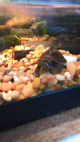 TANKS A LOT PET STORE . stink pot turtle