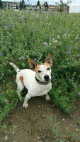 Lost Jack Russell
