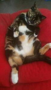 Lost cat in Gosnells - Reward offered Gosnells Gosnells Area Preview
