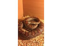 2 year old male Corn Snake