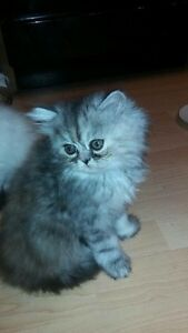 Gorgeous Persian Kitten