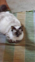 hi i have ragdoll pure adult female she is pregnant for sale OBO