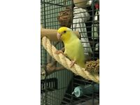 LOST - Small Yellow Parrotlet/Bird in New Haw, Surrey