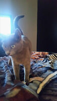 Free to Loving Home - 1yr old Solid Grey Cat - Female