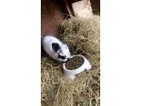 Friendly white and black rabbit