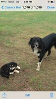 Female collie rotti cross free to acreage home