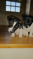 Registered English Jack Russell Terrier Pups for sale